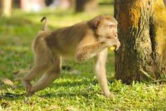 Schwein-angebundener Makaken Stockfoto