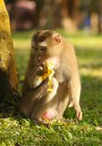 Schwein-angebundener Makaken, der Banane isst Stockfoto