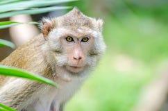Schwein-angebundener Makaken, Macaca Nemestring Lizenzfreies Stockbild