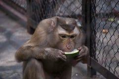 Schwein-angebundener NordMakaken, der Melone sitzt und isst Stockfotografie