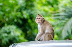 Schwein-angebundenes Makakenporträt (Macaca Nemestring) Lizenzfreie Stockfotografie