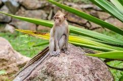 Schwein-angebundenes Makakenporträt (Macaca Nemestring) Stockfoto