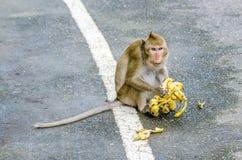 Schwein-angebundenes Makakenporträt (Macaca Nemestring) Stockbilder
