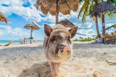 Schwein auf dem Strand Schmutziger Strand Ferkel unter den Palmen Stockbild