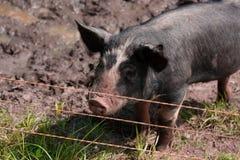 Schwein auf einem Gebiet Lizenzfreies Stockfoto