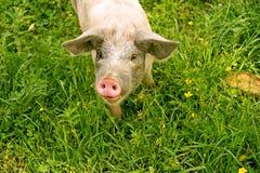 Schwein auf grünem Gras Stockbilder