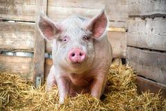 Schwein auf Heu und Stroh Stockfotos