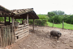 Schwein auf Schweinestall Lizenzfreies Stockbild