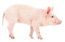 Schwein auf Weiß Stockfoto