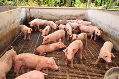 Schwein-Bauernhof Lizenzfreies Stockfoto
