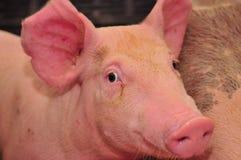 Schwein-Bauernhof lizenzfreie stockfotos