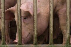 Schwein am Bauernhof Lizenzfreies Stockfoto