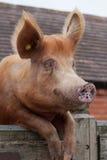 Schwein, das über einem Tor auf dem Bauernhof schaut Stockfoto
