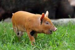 Schwein, das Blätter isst lizenzfreies stockfoto