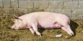Schwein, das im Sonnenschein schläft Lizenzfreies Stockbild
