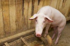 Schwein, das oben steht Stockbilder