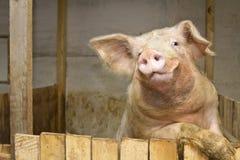Schwein, das oben steht Lizenzfreie Stockfotos