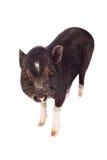 Schwein, das vorwärts schaut Stockfotografie