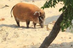 Schwein des roten Flusses stockfoto