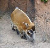 Schwein des roten Flusses Lizenzfreies Stockbild