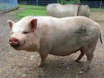 Schwein draußen Stockfotos