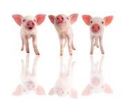 Schwein drei stockfoto