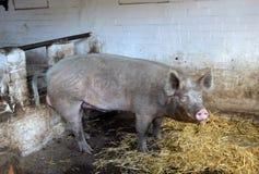 Schwein in einem Bauernhof Stockfotos