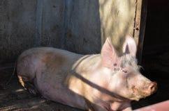 Schwein in einem Bauernhof Lizenzfreies Stockfoto