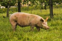 Schwein in einem medow stockfoto