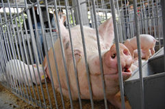 Schwein in einem Rahmen Ausstellung Stockbilder