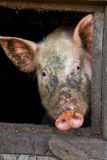 Schwein in einem Strömungsabriß Stockfotos