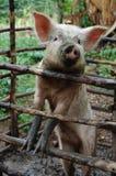 Schwein hinter hölzernen Stäben Stockbild