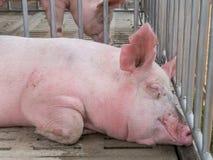 Schwein im Käfig Stockfotografie