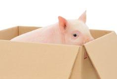 Schwein im Kasten Stockbild