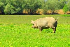 Schwein im Lauf Stockfotos