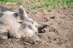 Schwein im schlammigen Schmutz Stockfotos