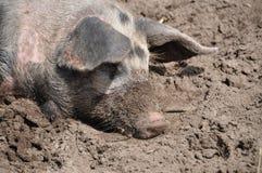 Schwein im schlammigen Schmutz Lizenzfreie Stockbilder