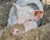 Schwein im Schmutz Lizenzfreies Stockbild