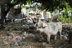 Schwein im schmutzigen Hinterhof Stockfotos