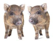 Schwein klein Lizenzfreie Stockfotos