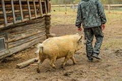 Schwein kommt für Mann lizenzfreie stockfotografie