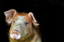 Schwein ` Kopf Abschluss oben Lizenzfreie Stockfotos