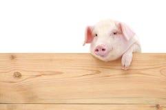 Schwein mit Brett Stockfoto