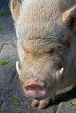 Schwein mit den Stoßzähnen Lizenzfreie Stockfotos