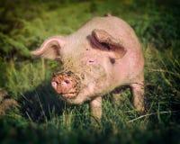 Schwein mit der schmutzigen Schnauze lizenzfreies stockbild