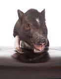 Schwein mit Füßen oben auf Schemel Lizenzfreie Stockfotos