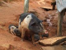 Schwein mit Ferkeln Stockfotos