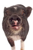 Schwein-Nahaufnahme Stockfotos