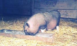 Schwein Pitti Lizenzfreie Stockbilder