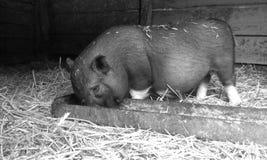 Schwein Pitti 2 Lizenzfreies Stockfoto
